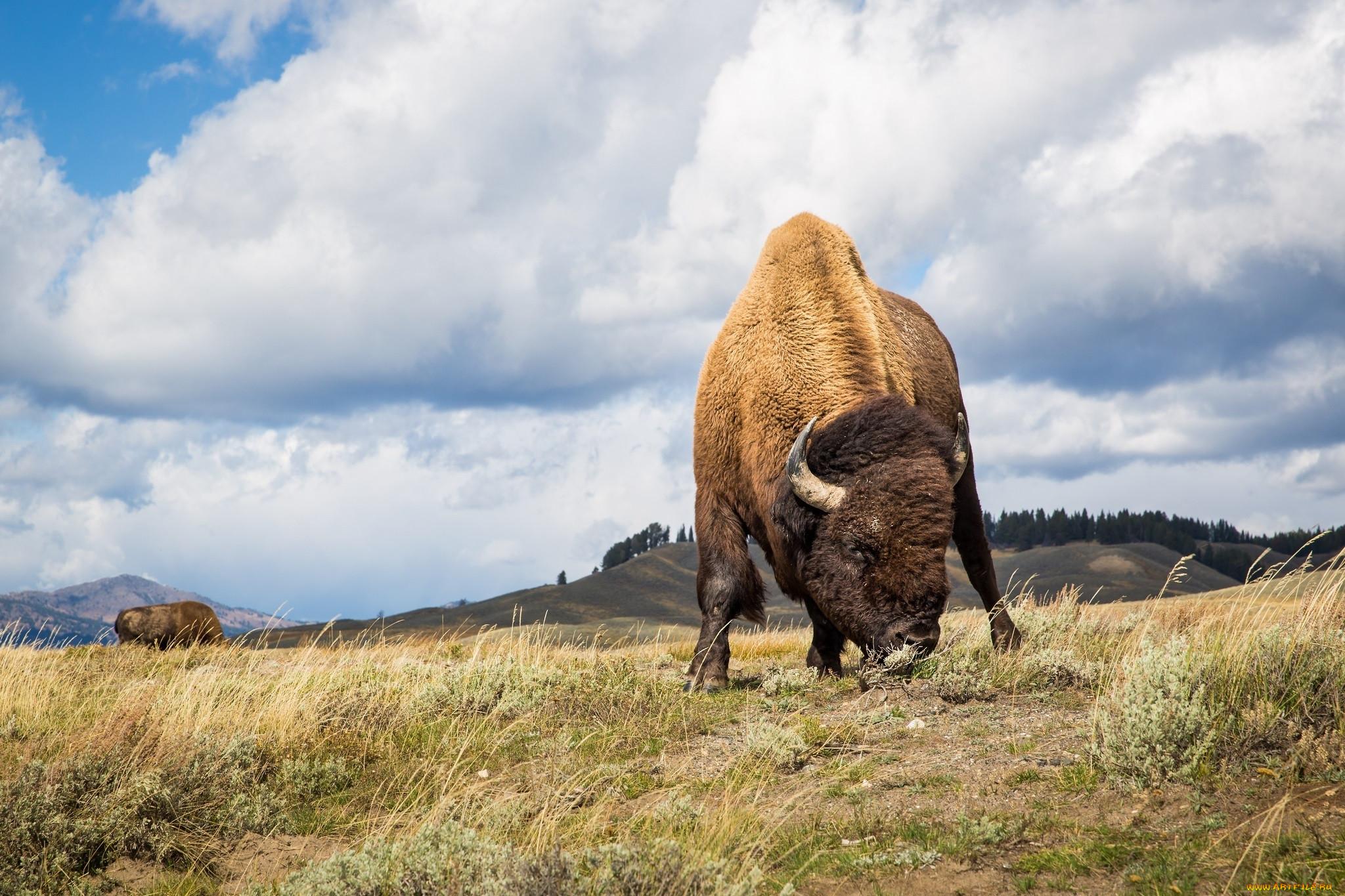 хотя бизоны фото профессиональное сидеть телефоне